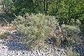 Plants in Ardeche7.JPG