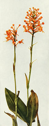 Platanthera ciliaris WFNY-037B.jpg