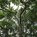 Platanus orientalis-IMG 5937.jpg
