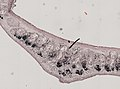 Pleioplana atomata (YPM IZ 073814) 39.jpeg