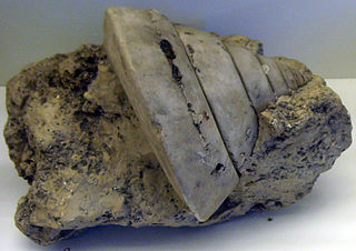 Pleurotomaria genus of molluscs (fossil)