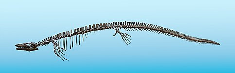 Plioplatecarpus 01.jpg