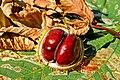 Plody jírovce.jpg