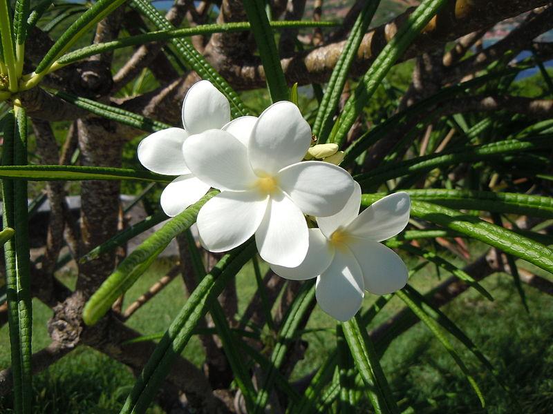fleur du plumeria alba