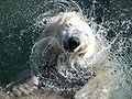 Polarbär.jpg