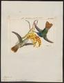 Polytmus oenone - 1820-1860 - Print - Iconographia Zoologica - Special Collections University of Amsterdam - UBA01 IZ19100213.tif