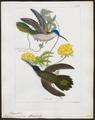 Polytmus pampa - 1820-1860 - Print - Iconographia Zoologica - Special Collections University of Amsterdam - UBA01 IZ19100031.tif