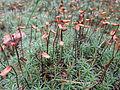 Polytrichium commune 01.JPG
