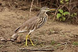 Pond-Heron-Ardeola-grayii.jpg
