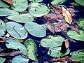Pond Cameron NC 3856 (15568565317).jpg