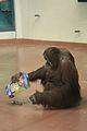 Pongo abelii at the Philadelphia Zoo 003.jpg
