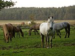 File:Ponies north of Pottern Ford, New Forest - geograph.org.uk - 182788.jpg