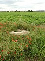 Poppies and manhole alongside Hunster Flat Lane - geograph.org.uk - 502586.jpg