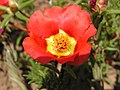 Portulaca grandiflora in Sedovo 005.jpg
