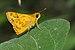 Potanthus-Kadavoor-2016-03-24-001.jpg