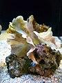 Potato Chip Coral (Pavona cactus) - GRB.jpg