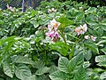 Potato flowers 77.jpg