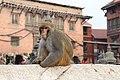 Potroit of Rhesus Macaque at Swayambhunath Stupa (2).jpg