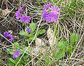 Primula cuneifolia var. cuneifolia01.jpg