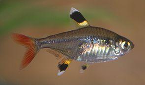 Beim durchscheinenden Sternflecksalmler ist die Wirbelsäule zu sehen, die bei fortgeschrittenen Chordatieren die Chorda dorsalis ersetzt.
