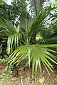 Pritchardia affinis kz1.jpg