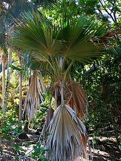 <i>Pritchardia lanigera</i> Species of palm