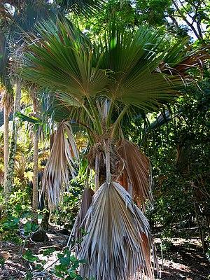 Pritchardia lanigera - Image: Pritchardia lanigera (4761531233)