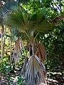 Pritchardia lanigera (4761531233).jpg