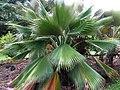 Pritchardia martii (5249644967).jpg