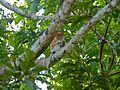 Proboscis Monkey (Nasalis larvatus) juvenile (8067586684).jpg