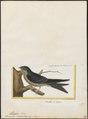 Progne chalybaea - 1700-1880 - Print - Iconographia Zoologica - Special Collections University of Amsterdam - UBA01 IZ16700207.tif
