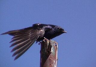 Southern martin species of bird