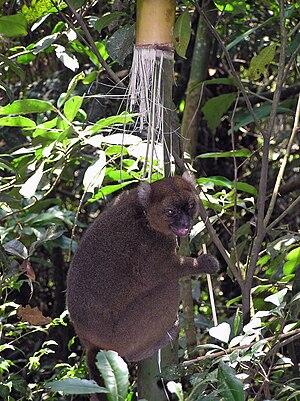 Greater bamboo lemur - Image: Prolemur simus Cedric Girard Buttoz