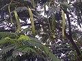 Prosopis glandulosa - India 1.jpg
