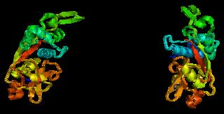 Cathepsin Z protein-coding gene in the species Homo sapiens