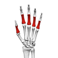 Proximal phalanges of the hand (left hand) 01 palmar view.png