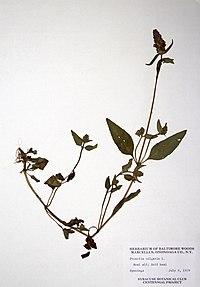 Prunella vulgaris BW-1979-0709-0317.jpg
