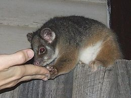 Pseudocheirus peregrinus (Possum fed cake on fence).jpg