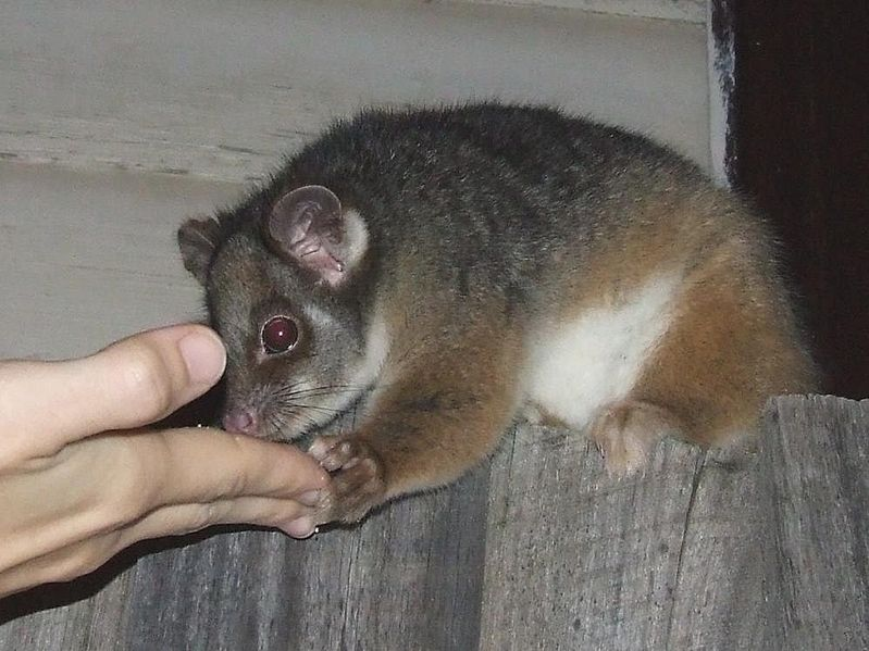File:Pseudocheirus peregrinus (Possum fed cake on fence).jpg