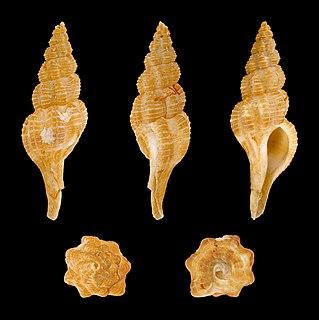 <i>Pseudolatirus</i> genus of molluscs