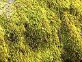 Pseudoleskeella serpentinensis (serpentine pseudoleskeella moss) (6999147032).jpg