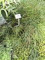 Psilotum nudum - Botanischer Garten München-Nymphenburg - DSC08187.JPG
