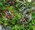 Ptarmigan chicks (cropped).JPG