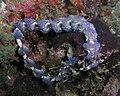 Pteraeolidia ianthina Nick Hobgoood.jpg
