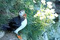 Puffin - Bempton Cliffs (28223279552).jpg