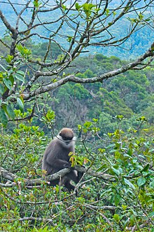 Purple-faced langur (Trachypithecus vetulus).jpg