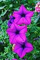 Purple Blooms.jpg