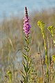 Purple Loosestrife (Lythrum salicaria) - MacGregor Point Provincial Park.jpg