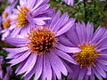 Purple Mums With Drops (249794320).jpg