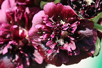 Purple flower, species unidentified, 2016.jpg
